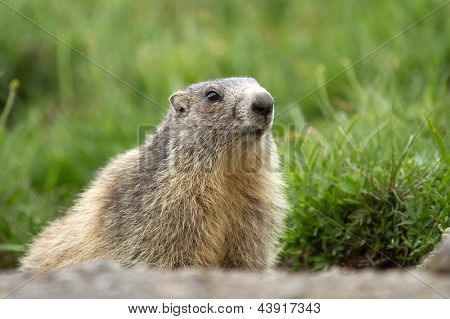 a marmot in the alps