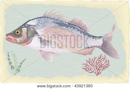 Sea perch on retro style background