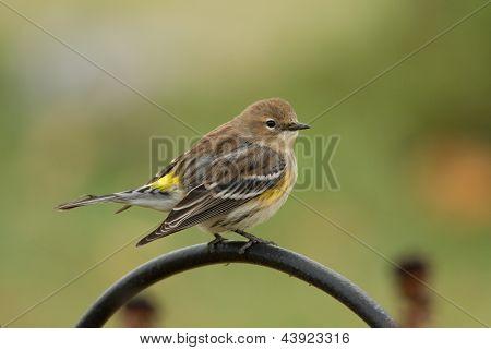 Amarelo-Mariquita-de queda