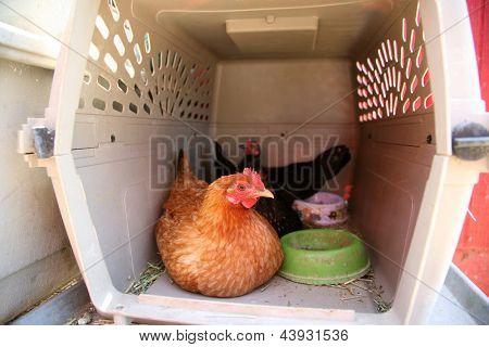 Chickens enjoy life in their chicken coop