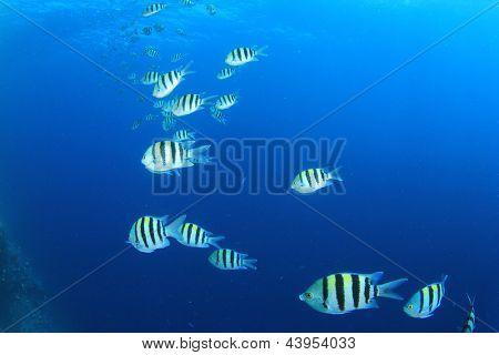 School of Scissortail Sergeant Fish