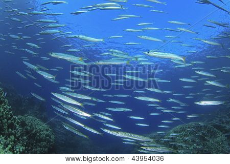 Fish shoal: Yellowtail Barracudas on reef