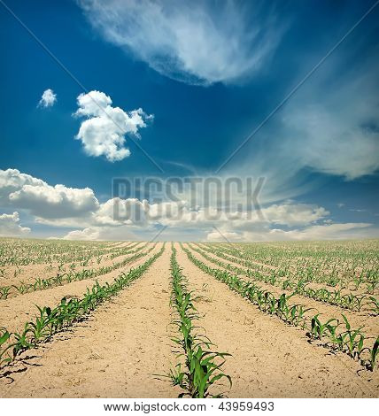 Field Of Corn Sprouts Over Blue Sky