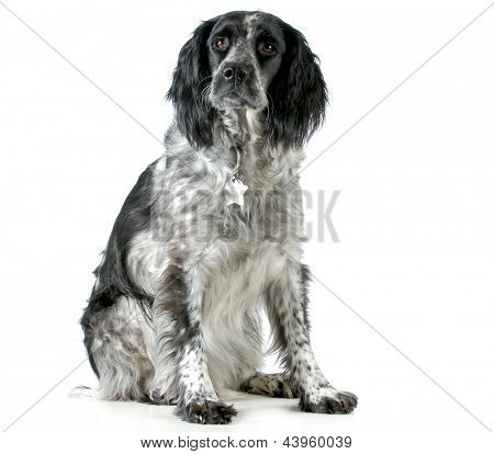 dog sitting - spaniel mix sitting looking at viewer isolated on white background