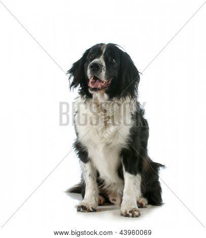 happy dog - spaniel sitting with tongue out panting isolated on white background