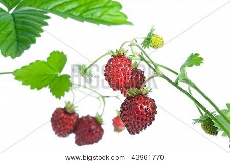 Wild Strawberries.