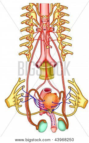 scheme testicular function