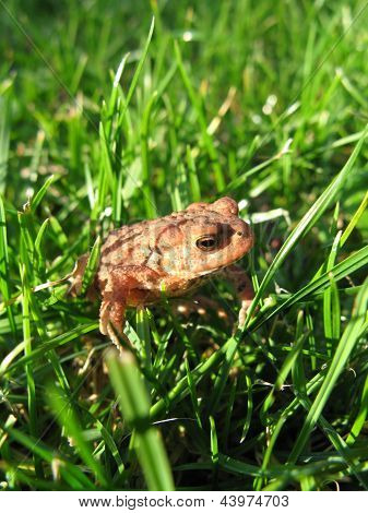 Young European Toad in Grass
