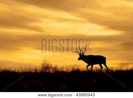 Hirsch bei Sonnenuntergang