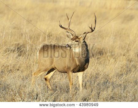 Deer in Brush