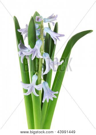 Beautiful hyacinth, isolated on white