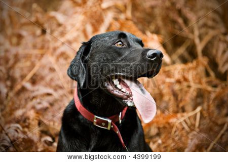 Alert Labrador In The Countryside