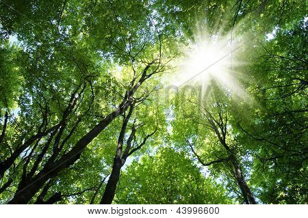 Beech forest in spring with the sun in the trees