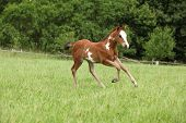 stock photo of fillies  - Nice Paint horse filly running on pasturage in summer - JPG