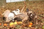 stock photo of catahoula  - Louisiana Catahoula dog playing with puppies in autumn - JPG