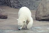 foto of snuff  - Little funny white polar bear snuff - JPG