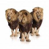 Group Of Wild Lions Isolated On White Background
