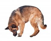 stock photo of german-sheperd  - portrait of german sheperd on white background - JPG