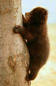 image of baby bear  - black bear cub - JPG
