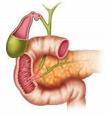 image of intestines  - group of pancreas intestine and vesicle bile - JPG