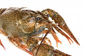 stock photo of crawfish  - green crawfish on white background close - JPG