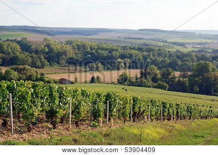 Vines near Auxerre  Burgundy France, vineyards of Chablis