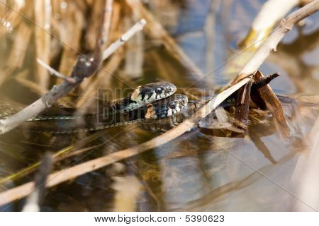 Grass Snakes Copulating