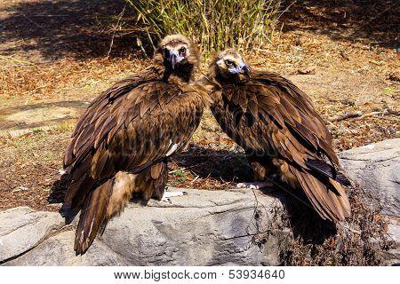 Cinereous Vultures