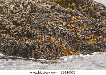 Black Oystercatcher On Oysters