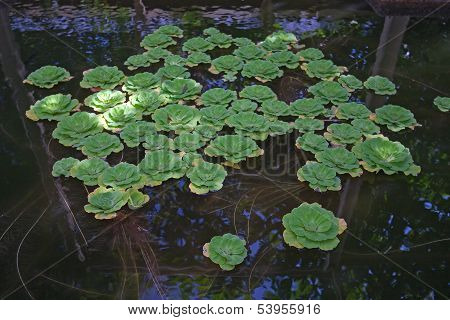 Plants In The Pond
