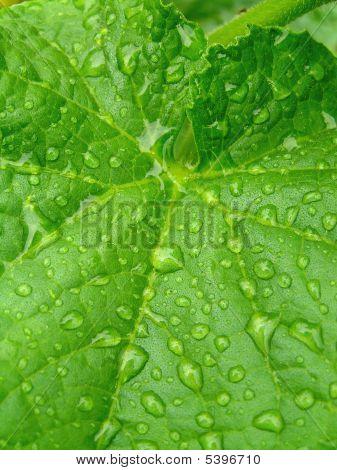Green  Leaf  Of A Cucumber