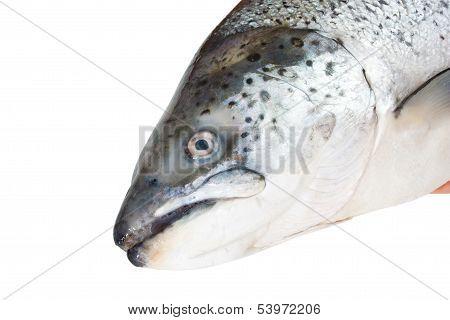 Head of the Atlantic salmon