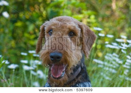 Airedale terrier dog with wild flowers