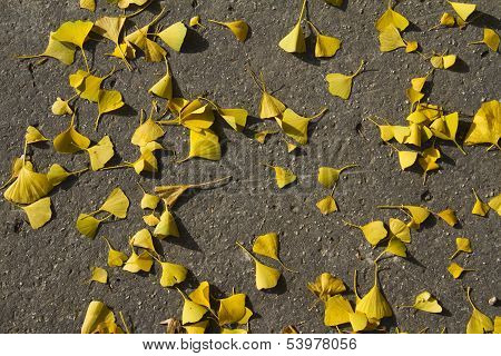 Autumn: Yellow Gingko Leaves On The Groung