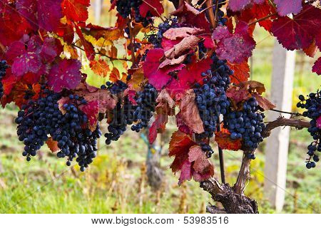 Purple Grapes In Wine Yard, Autumn