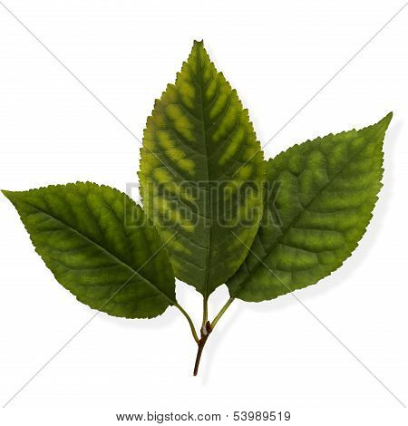 Linden Leaves