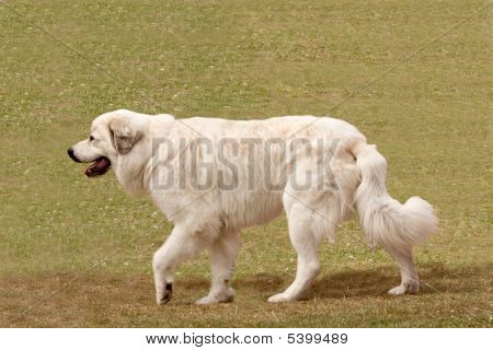 Pyrenean Mountain Dog Moving Slowly