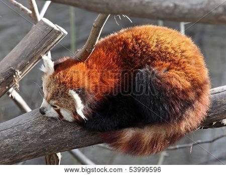 Red panda sleeping on a tree, zoo,Vienna