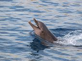 stock photo of bottlenose dolphin  - blue smiley dolphin swiming in the pool