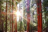 stock photo of sequoia-trees  - General Sherman tree in Sequoia National Park California - JPG