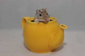 foto of gerbil  - gerbil sat in a yellow teapot looking out the top - JPG