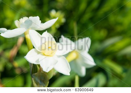 Flower Of The Daffodil In Spring