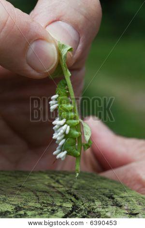 Tomato Hornworm Larvae With Wasp Pupae Parasites