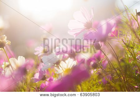 Chamomile in purple