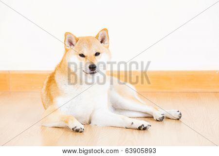 Japanese Shiba Inu dog