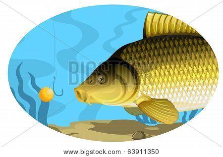 Common carp catching on bait