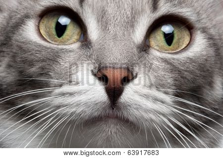 closeup portrait gray cat with red nose