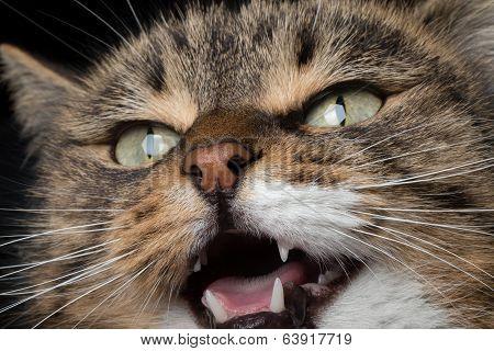 closeup portrait meowing cat