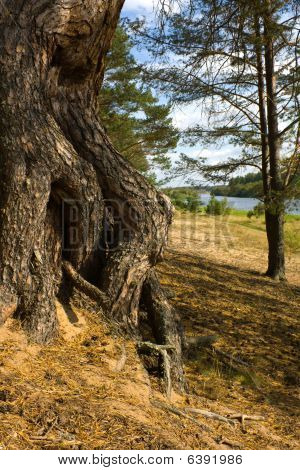 Roots Of A Pine