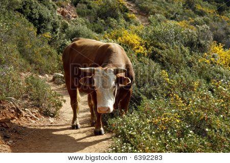 Cow (bos Primigentus) In Capo Rosso, Corsica